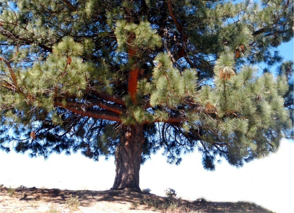 5 big cone tree