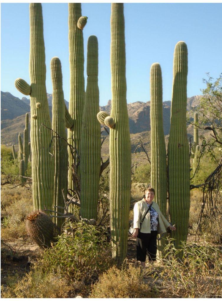 Sabino Canyon Saguaros 4