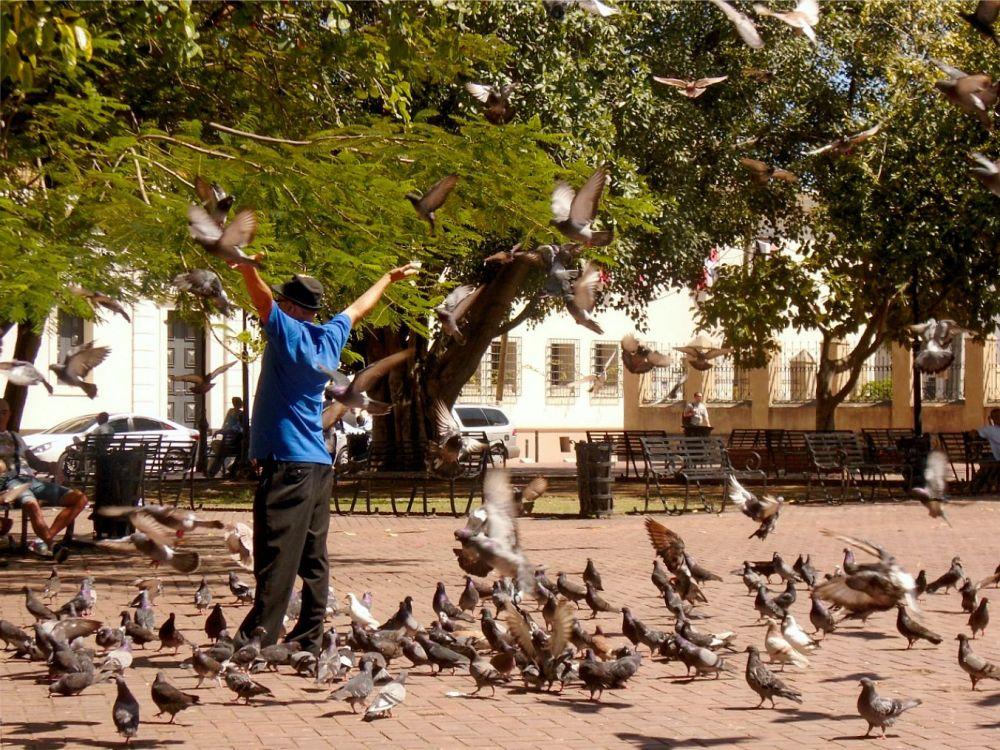 Santo Domingo pigeon maistro 2