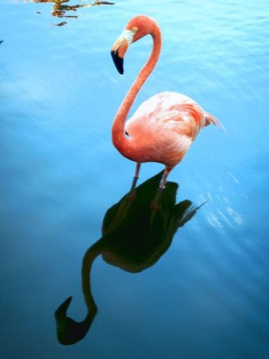 Punta Cana flamingo