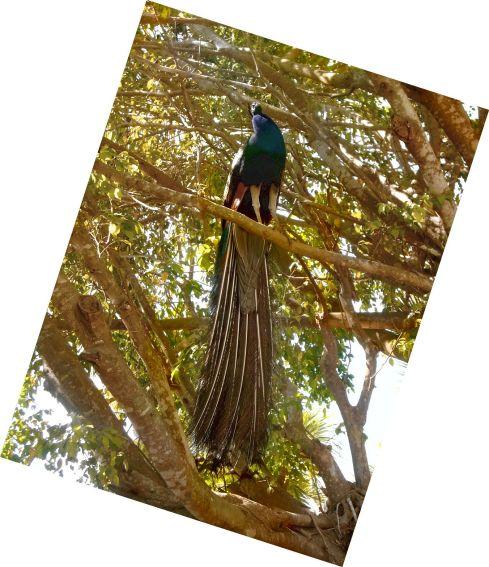 Punta Cana peacock